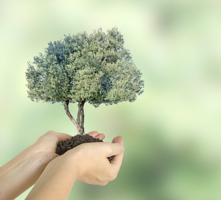 environmental issue: Olive tree in hands as a gift