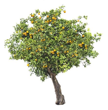 白い背景の上のオレンジの木