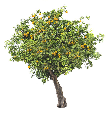 흰색 배경에 오렌지 나무 스톡 콘텐츠