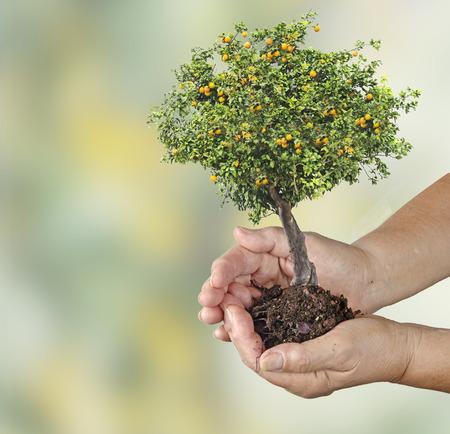 ecosavy: Orange tree in hands Stock Photo