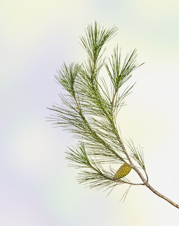 ovulate: Pine branch with cone Stock Photo