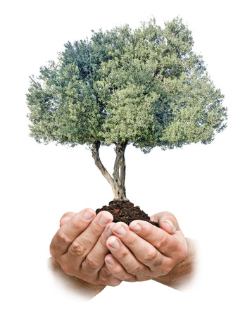 ecosavy: Olive tree in hands as a gift