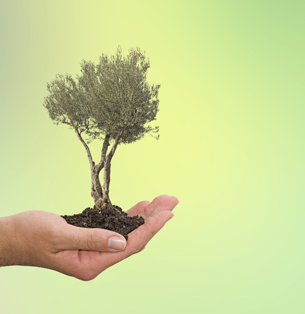 offset up: Olive tree in hand as a gift