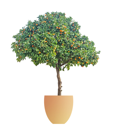 naranja arbol: naranjo en crisol en el fondo blanco