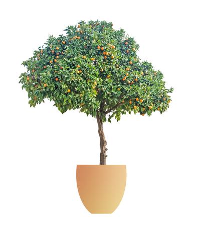 Orange tree in pot on white background