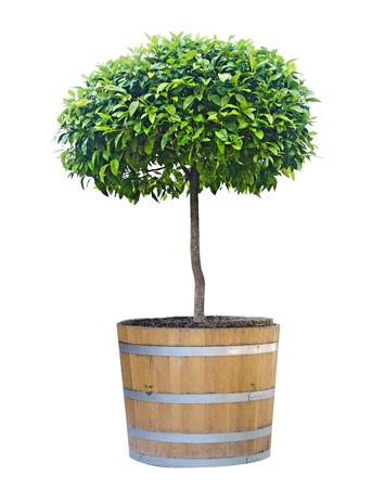 citrus tree: citrus tree in pot Stock Photo