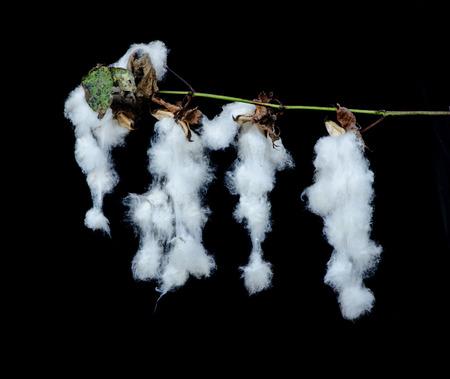 plant gossypium: Close up of cotton plant with bolls Stock Photo