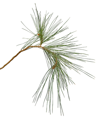 pine needles close up: Pine branch isolated on white background Stock Photo