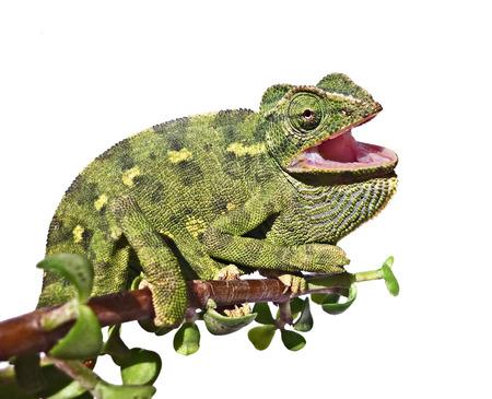 chameleon lizard: Chameleon on branch