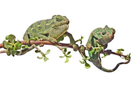 insectivorous plants: Two chameleons
