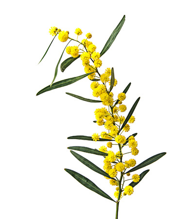 close up: Close up of Acacia saligna