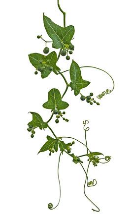 close up: Close up of vine Stock Photo