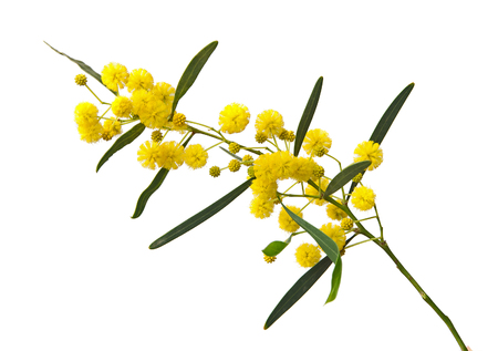Close up of Acacia saligna