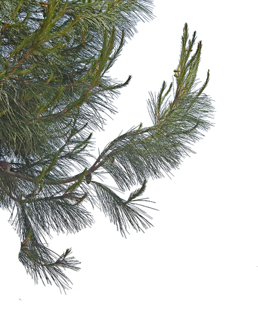 ovulate: Pine branch with cones isolated on white background