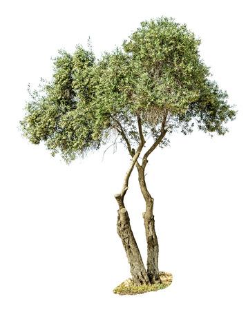 ecosavy: Olive tree on white Stock Photo