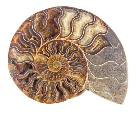 fossil: Close up of Ammonite fossil