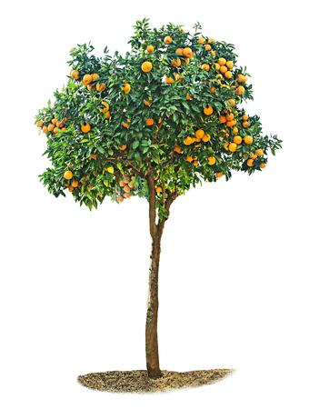 Oranje boom op een witte achtergrond