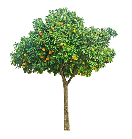 naranjo arbol: Árbol de naranja sobre fondo blanco