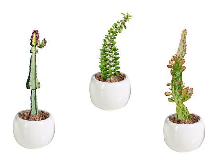 Three cactuses in pot