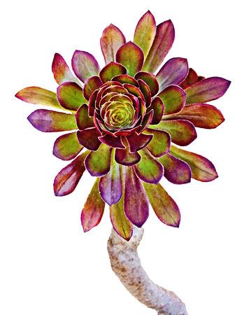succulent plant isolated on white background Stock Photo