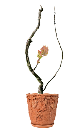 Grape vine isolated on white background