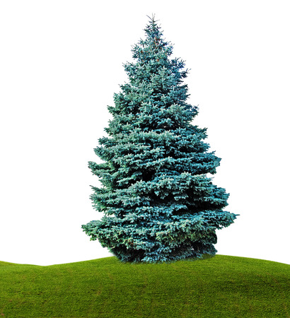 Fir isolated on white background Stock Photo