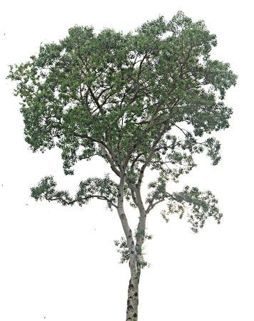 Pine tree on white background