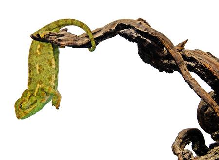 Close up of chameleon on branch