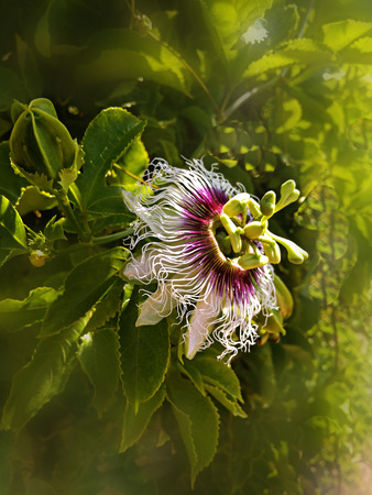 Close up of   Passiflora