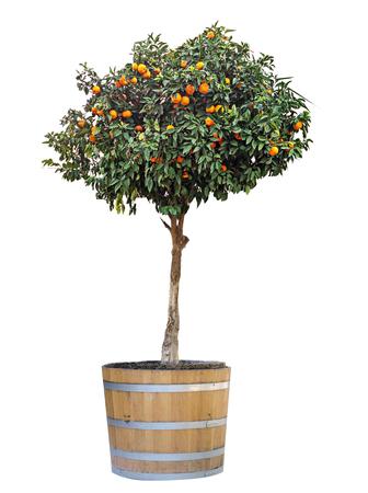 Citrus tree in pot Stock Photo