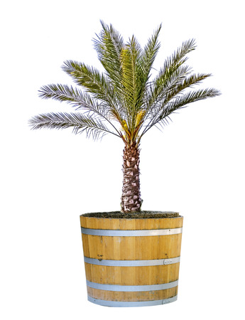 Palm in pot isolated on white Stock Photo