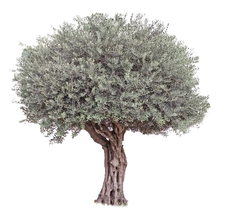 Olive tree on white background