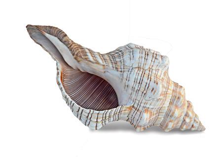 Close up of seashell on white background Stock Photo