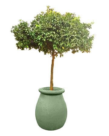 Citrus tree in pot