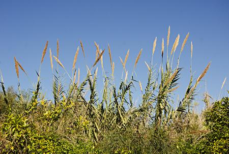 Grasses of Israel Stockfoto