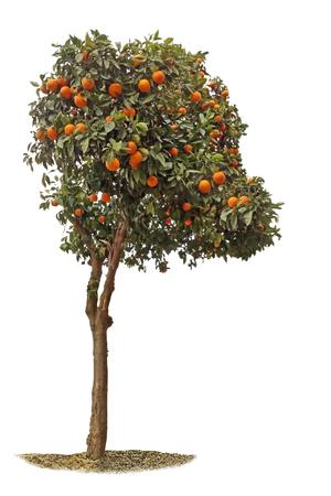 Orange tree on white background 版權商用圖片 - 124885724