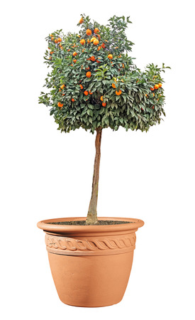 citrus tree in pot 版權商用圖片