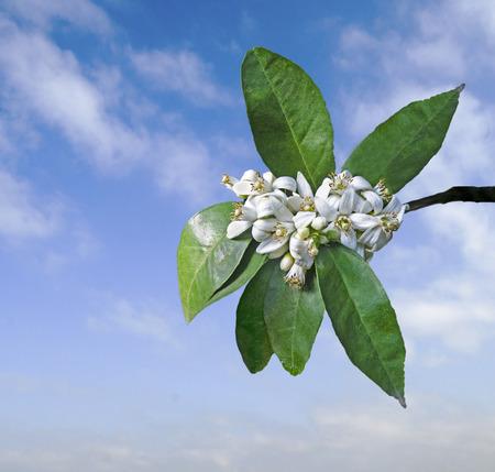 close up of citrus flowers 版權商用圖片 - 125044096