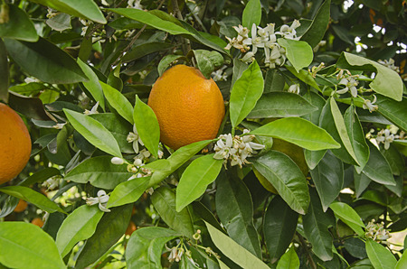 Close up of Ripe oranges on tree 版權商用圖片 - 125044194