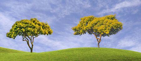 Accacia tree with yellow flowers  版權商用圖片