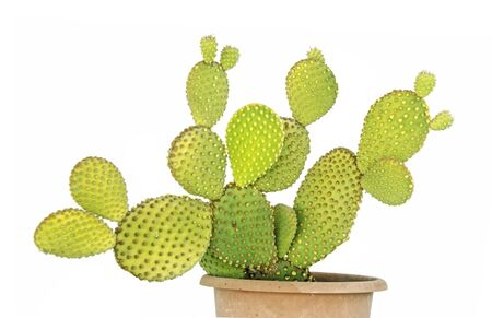 Close up of opuntia cactus in pot