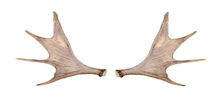 Moose antler isolated on the white background