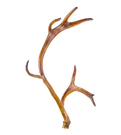 Sika deer antler isolated on the white background 版權商用圖片 - 131922119