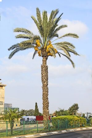 Close up of date palm Stock Photo