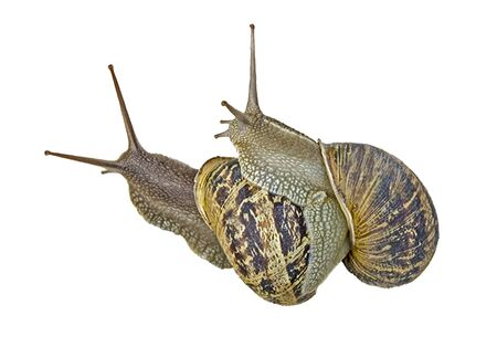 Close up of Pair of Burgundy (Roman) snail isolated on white background