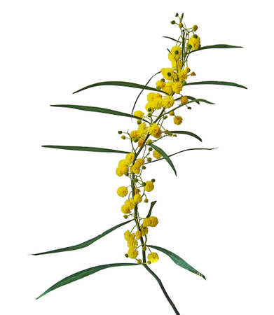 Close up of Acacia saligna Banque d'images