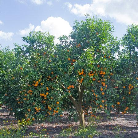Orange tree with ripe fruit Stock fotó