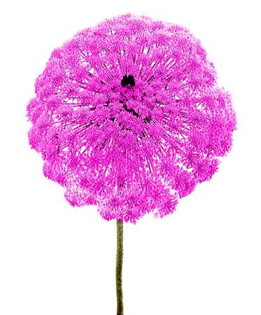 Close up of floweres of umbellifer Фото со стока