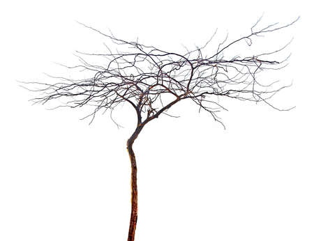 Dry tree  isolated on white background Фото со стока