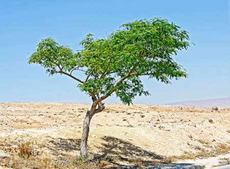 Ornamental tree in Israel at spring